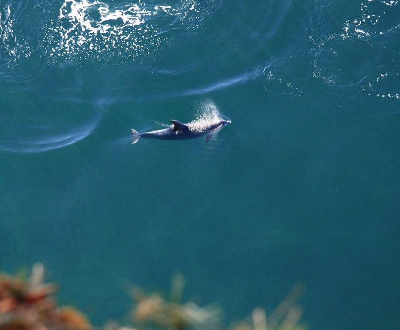 Дельфин под Киселевой скалой, Туапсе